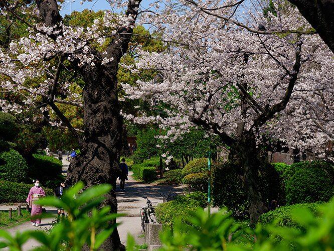 Hanami Kirschblüten