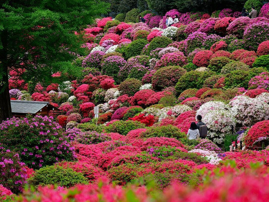 Blumenliebe: Blauregen und Azaleen in Tokyo